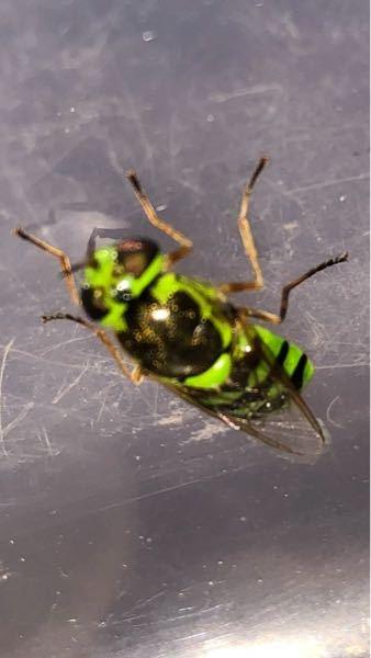 緑色のアブを発見しました。 コガタノミズアブというアブで間違いないでしょうか? 三重や京都では絶滅危惧種だとか…
