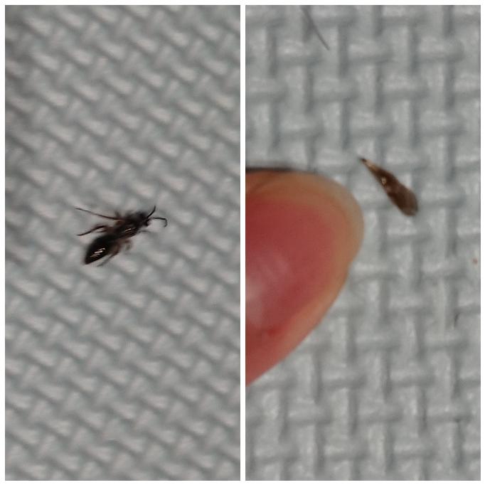 画像が小さく荒くすみません。 先ほど部屋のなかを飛んでる虫がいて、叩いて外に捨てたのですが、アリガタバチでしょうか(涙)? 大きさわかりずらくてすみません。 自分で調べた感じ2mm程とかではなく、5mm程ありました。小さい子供もいて、私自身虫が苦手です。左は叩いたあとの死にかけ虫です。右は取れた羽です。よろしくお願い致します