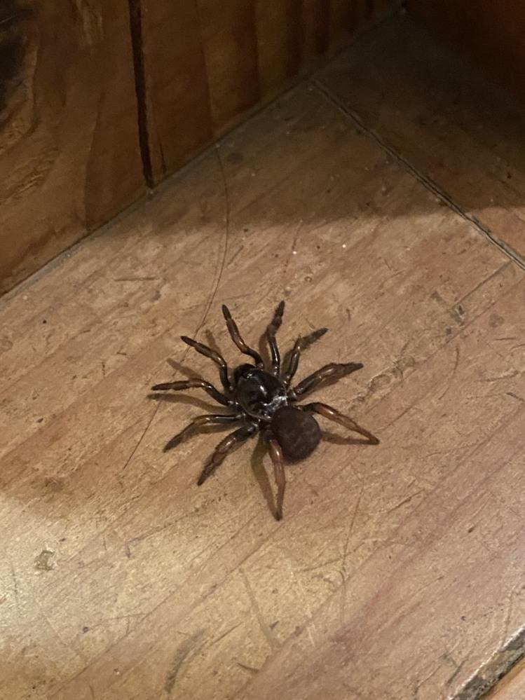 家の中にアシダカでもハエトリでもない見たことないクモがいました これなんて名前のクモなんでしょうか?