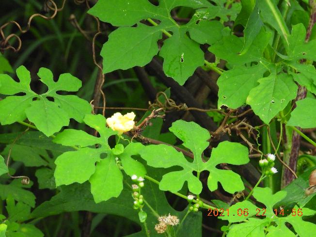 この野草の名前教えて下さい。ゴーヤーに似てますが、少し葉っぱがか違う気がします。