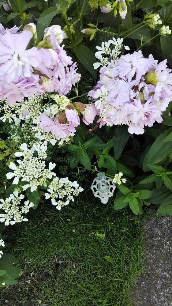 画像の花はシャボンソウでしょか? (オルレアではないほうの薄いピンク色の花) 母がメールで送ってきた画像で見づらいですが… 先日私が実家に帰り撮影しようとしたら、もう咲き終わったのか、母が切ってしまったのか花がなくなっていて… これしか写真がありません。
