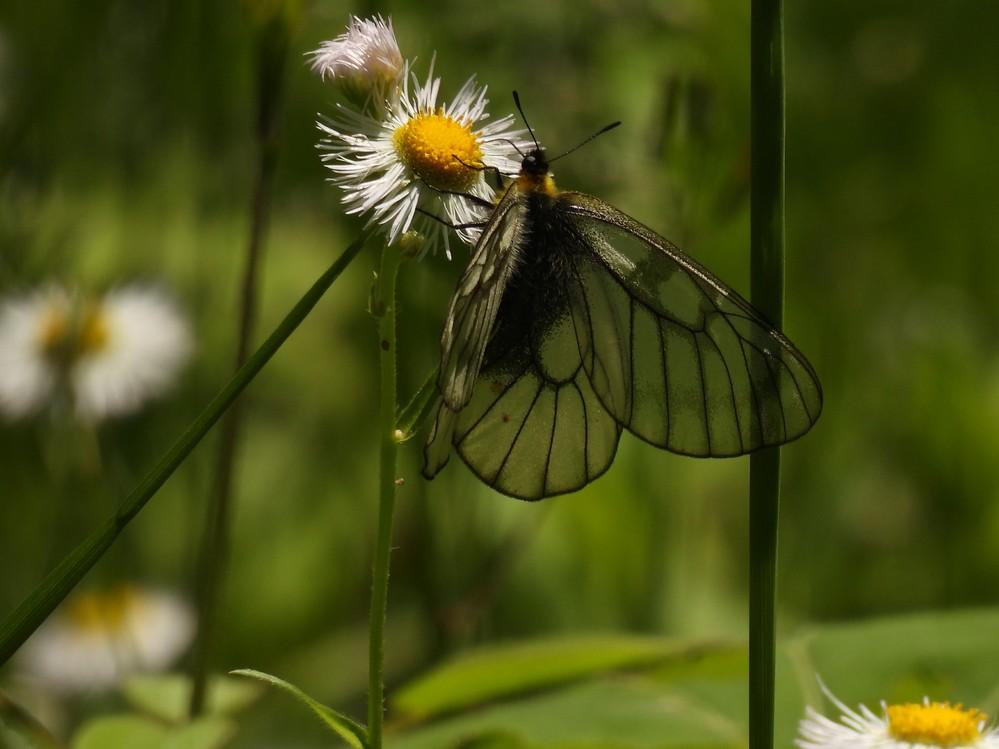 この蝶の名前を教えてください。ミヤマシロチョウかなと思うのですがわかりません。羽根が透けているようなのですが。