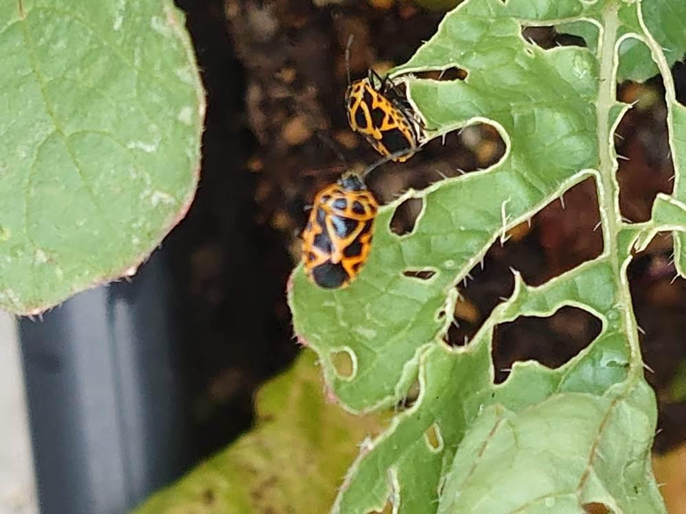 家庭菜園をしています。 最近画像のような虫(テントウムシ?)が目立つようになりました。 何の虫でしょうか。駆除した方が良いのでしょうか。