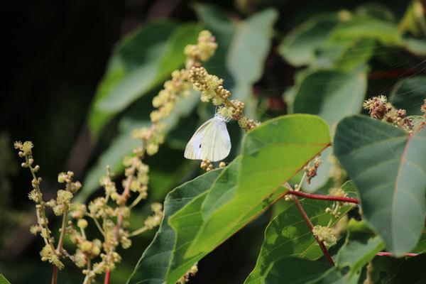 広島から投稿します。モンシロチョウが蜜を吸っている植物を教えて下さい。