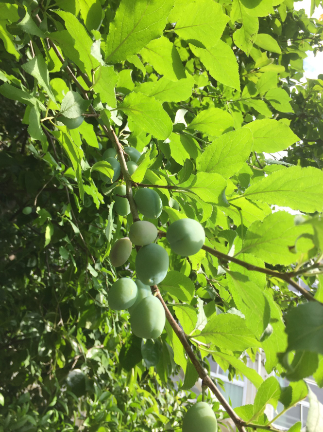 お教え下さい。今実を実を付けたばかりの木の名前です。兵庫県西宮市です。宜しくお願い致します。