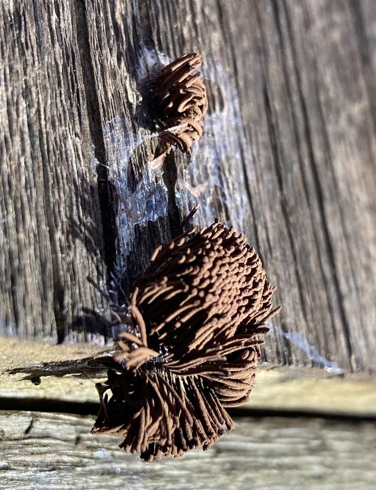 コレはなんですか? 卵でしょうか。 周囲にナメクジが這ったような粘着質のものが確認できました。 触れると茶色い粉のようなものを吹きました。 場所は都心で、木の壁に付いていました。 撮影は本日2021/6/23 です。