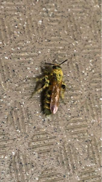 このハチみたいなのはなんていう虫ですか?