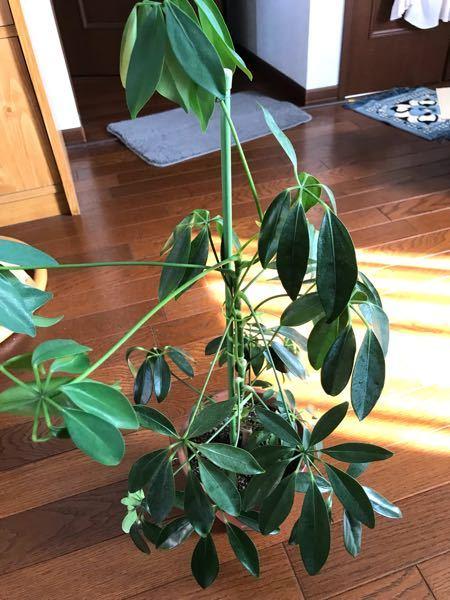 写真の観葉植物の名前を教えてください(シェフレラのような気がするのですが、いまいち自信がなくて)