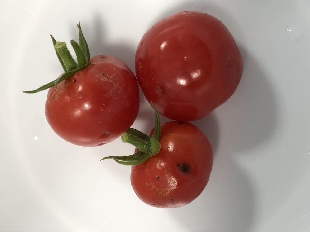 プランターで育てているミニトマトに黒い点が付いていました。これは食べても問題ないものでしょうか?