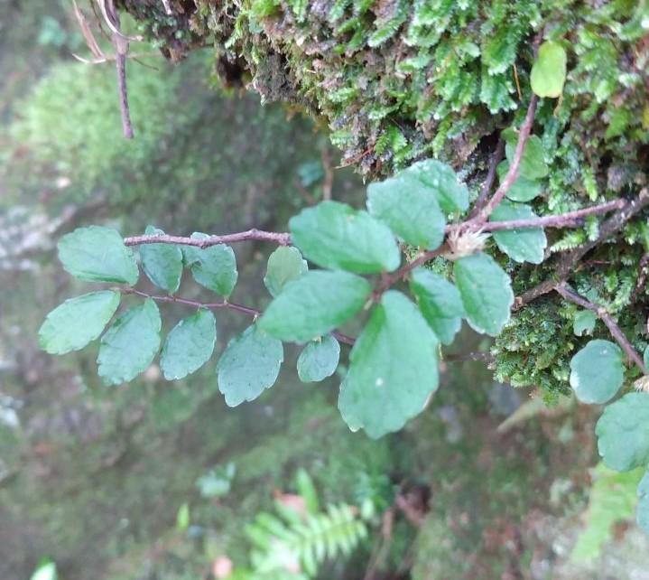 この植物の名前を教えてください。 葉の大きさは1cmほどです。撮影地は九州の渓流です。