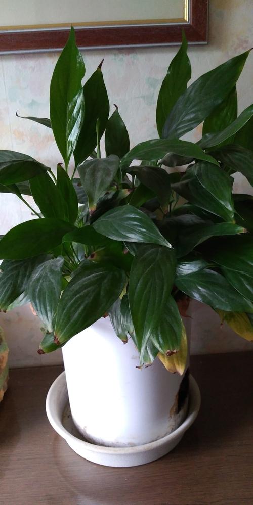 この観葉植物の名前は何でしょうか? 植え替えをしたいのですが困っています。 賢者の方、お返事お待ちします!
