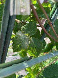 ブラックベリーを育てています。 葉に白いものが付くようになりました。  うどん粉病でしょうか? それともダニでしょうか・・・  去年も同じようになりどんどん広がりました。