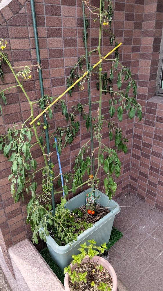 鉢植えでミニトマト育てています。 昼13時頃見たらこの写真のようになっていました。水不足ですかそれとも病気でしょうか