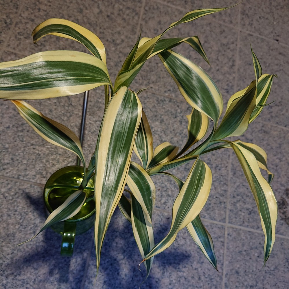 写真の植物の品種名を、ご教示ください。 他の花と一緒に、母の日のプレゼントとしていただきました。 花瓶に生けておいたところ、しっかり根が出てきました。 植え付けて育ててみたいと考えております。 よろしくお願いいたします。