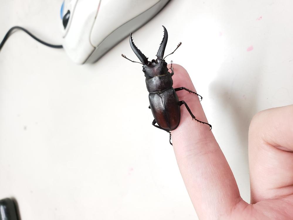 このクワガタってなにクワガタでしょうか? 今朝捕まえたクワガタなのですが、最初はサイズ的にコクワガタだと思いました。しかしよく見てみるとコクワガタとは角の形が異なっています。昆虫にはそこまで詳しくないのですが、気になってネットで日本に生息しているクワガタを調べたところ、最も類似しているのが「ハチジョウノコギリクワガタ」だと思いました。しかしネットでは「ハチジョウノコギリクワガタは八丈島にしか生息していない」と書いており、私がこのクワガタを捕まえたのは東京都の八王子なのでこれもまた違うかなと思いました。 結局このクワガタがなにクワガタなのかは分からずじまいです。ハチジョウノコギリクワガタなのか…それとも全く別のクワガタなのか…どなたか詳しい方教えて頂けないでしょうか…?