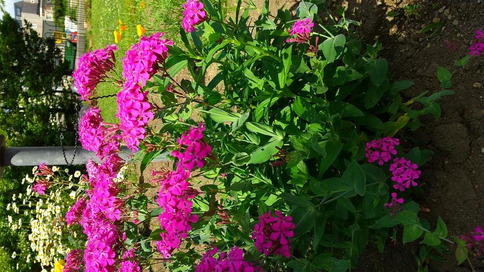 この花の名前を教えてください。 物凄い勢いで庭に咲いています。