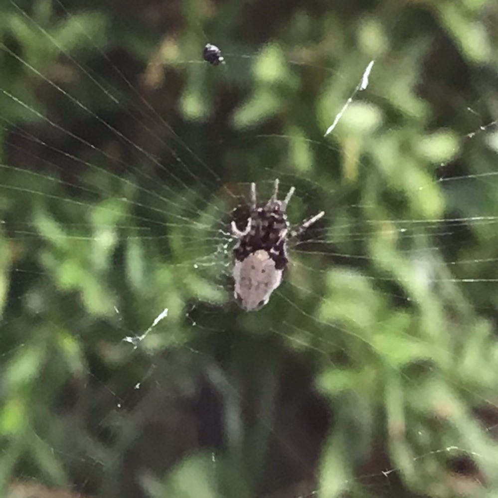 この蜘蛛(クモ)について教えてください<写真あり> ここ1週間ほど窓の外にこちらの蜘蛛が巣を作っているのですが、見たことがないクモなので害があるかなど教えていただけますと幸いです。 特徴は・・・ ・縦長で体長1センチ ・背中が白い ・足が非常に短く、前方に4本(?)足が出ているように見える 蜘蛛の巣を張っているので蜘蛛だと思うのですが、蜘蛛らしくない形なのでとても不思議です。。