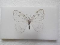 この蛾の種類は何ですか? 兵庫県産 6月採集です。