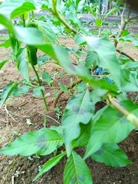 ししとうについて教えて下さい。 1か月位前にホームセンターでジャンボししとうの苗を購入しました。 ポットに2本の苗売っていたものです。 1本は通常に育っていて葉も黒い部分もなく収穫も間近です。 隣のもう1本は成長が早く枝が伸び葉は黒くなり、枝も茶色で節目があり花も実も付きません。  病気なのだと思うのですが、きってしまった方がよいのでしょうか? 隣の正常な方に影響がありますか? 解る方がいら...