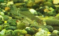 先日田んぼの水路で採って来たのですが、この魚は何ですか? ネットで調べても分からなかったのでどなたかお教えいただけると 嬉しいです
