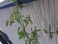 ランブラーローズのバラの夏剪定についてです。 ポールトランソンを育てて2年目なのですが、 花がら切りをした枝から芽が出てきましたが、 この芽が全てこのまま長く長く伸びていってしまうのでしょうか...。 そうすると冬剪定する頃にはすごいことになってしまうかと思い焦っています。  株元からは太くて元気なシュートがたくさん出てきました。 古い枝には花が咲きにくいと聞きますので、今年咲いた枝はかなり...