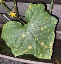 きゅうりを育てているのですが、 この葉っぱは病気でしょうか?  べと病ではなさそうなのですが… わかる方いらっしゃいますか?