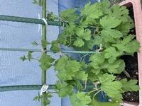ゴーヤを植えて1か月ですがちょっとなかなか伸びてないような気がするんですがもう少し待ったほういいですかね? 今日少し肥料あげました。水は結構毎日に近いぐらいあげてます。温度の関係かな。
