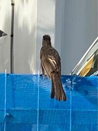 後ろ姿なんですけど、 この鳥なんの鳥か分かりますか?? 沖縄本島の沖縄市で見かけました!