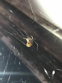 この蜘蛛の名前を教えてください! 自分で調べてヒメグモ科までは分かったのですが、何という名前なのか教えてください。  毒などあると怖いので詳しい方よろしくお願いします。