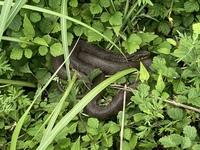 (画像)この蛇の種類教えてください   焦げ茶色でぼんやり模様が見えます 大きさは大きくも小さくもなく平均的な?蛇のサイズです。 日向ぼっこしてました。