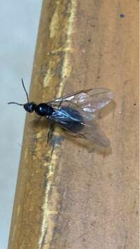 家の中に羽アリが20匹近くいます。 種類や対処法などわかるでしょうか。