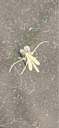 この虫はなんて言う虫ですか? 今年、家の周りに大量発生してます。 1〜2ミリ程で気持ち悪いです。 害虫でしょうか?