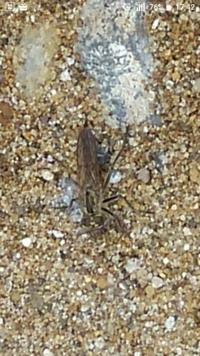 この虫は何と言う虫でしょうか? ハエ?蜂? よろしくお願いします