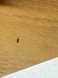 これなんて虫ですか?もしかしてゴキブリの赤ちゃん?