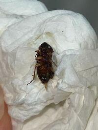 虫注意です!! この虫は何と言う虫でしょうか。5ミリくらいの大きさでこの画像からは見えませんが触覚がギザギザしています。