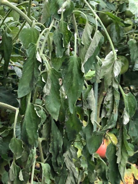教えて下さい。 先日の大雨からかトマトの葉がしおれだしました。 根のあたりはマルチがしてあります。 このままでは腐ってしまうのでしょうか?