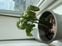 トマトの葉っぱが枯れてきているのですが何が原因でしょうか。 順調に育っていたのにいきなり枯れてきているので心配です 朝、水やりをして昼間はずっとここに置いてあります。 最近液体の肥料をあげました。