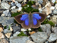 このチョウはムラサキシジミでしょうか? 昨日、長野県大町市の標高1100mの高原で撮影しました。