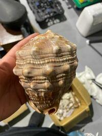 この貝殻の種類わかりますか? よろしくお願いします。