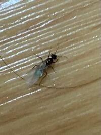 !虫の画像有!!羽蟻が発生してしまったようで、黒蟻か白蟻か判別して欲しいです…コンクリートのマンションで一人暮らしのワンルームです泣
