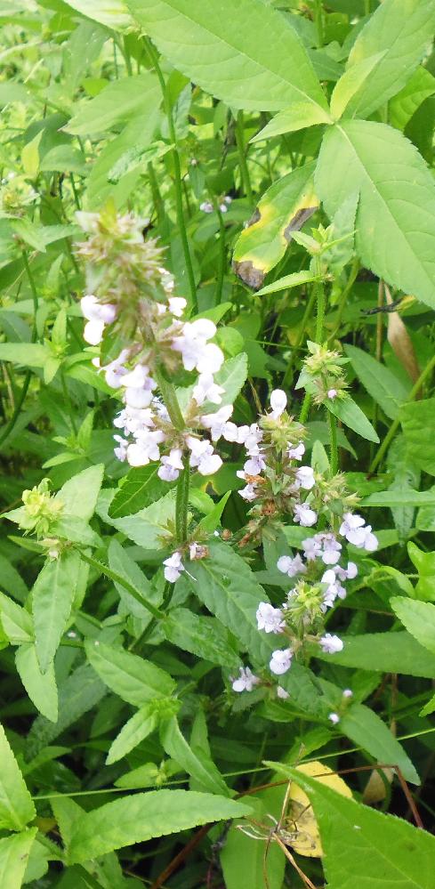 この花の名前を教えてください。 手前の花です。