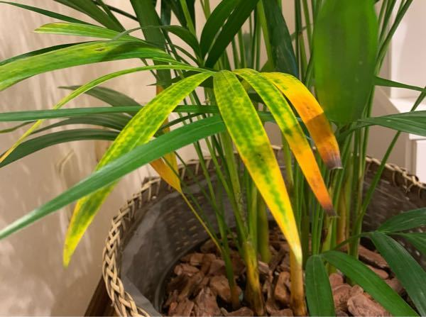 アレカヤシについて、 2週間ほど前に購入しましたが日に日に葉が黄色くなってしまい、どうしたものかと悩んでいます。 素人のため、様々なHPで調べながらあの手この手で育てていますが観葉植物って難しいなと痛感しています。 育て方に誤りがあれば教えてください。 また、下記以外に大切なことがありましたら教えてほしいです。 ・ほぼ日光は当たらない所に置いています。 (店員さんから耐陰性だから大丈夫と伺っています) ・水はほぼ毎日、葉に霧吹きはしております。 ・2-3日に1度、鉢の下から水が抜ける程度の水を与えています(1ℓ) ・購入時、鉢は8号でしたが11号に植え替えました。 (観葉植物用の土、底辺に軽石を敷き詰めました) ・室温は25度程度でエアコンの風も当たらないようにしています