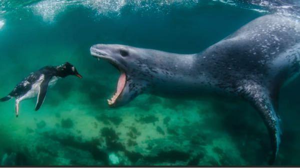 獰猛でシャチと並び海のギャングと言われているヒョウアザラシが、 以下の海棲生物と1対1で戦ったら勝てると思いますか? ・シャチ ・ホホジロザメ ・イタチザメ ・イリエワニ ・メカジキ ・オキゴンドウ ・ミナミゾウアザラシ ・セイウチ ・トド ・ホッキョクグマ