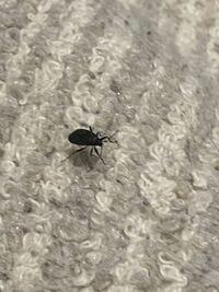 これはなんという虫でしょうか??ゴキブリの赤ちゃんでしょうか?