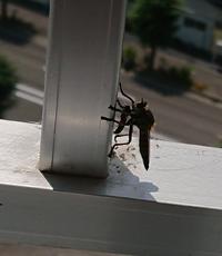 ベランダに虫が止まっています。 この虫の名前を教えてください。 お腹にいるのは子供でしょうか?