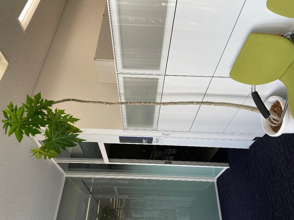 教えてください! この植物はなんでしょうか? 室内で育っているのですが、天井につきそうで外に植え替えていいものか悩んでいます。 わかる方がみえれば、アドバイスをお願いします。