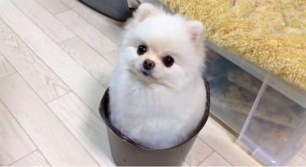 この犬はポメラニアンですか?