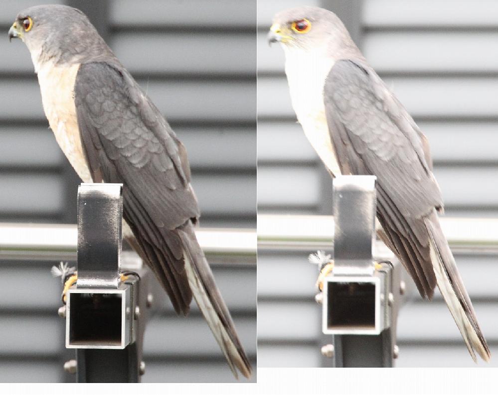 この鳥の名前を教えてください。 右と左は同じ個体です。それほど大きな鳥ではなかったです。30~50cmぐらいな気がしますが。 ふと隣の家を見たらとまっていました。東京23区西部です。