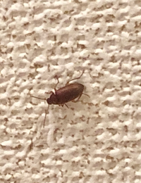 これはゴキブリの赤ちゃんでしょうか..?  今日、玄関の壁にこの虫がいました。 最近外にゴキブリがいるのを2.3度見たくらいで、 室内で見たことは今までありません。 また、ゴキブリの赤ちゃんだった場合、 家の中で繁殖してるかもしれないので 駆除したいのですが、 犬と生まれたばかりの赤ちゃんがいるので バルサンなどはできないので、 効き目のあるいい物があれば教えていただけると...