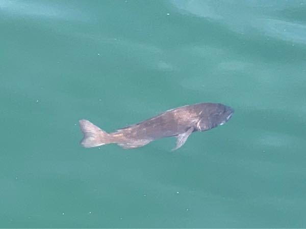 この魚が水面を泳いでいました。 これは黒鯛ですか?
